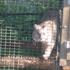 North Dakota fur farm moves to Montana